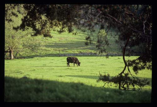 Green grazing in Cambo gardens.