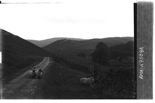 Sheep on track, Glen Ey.
