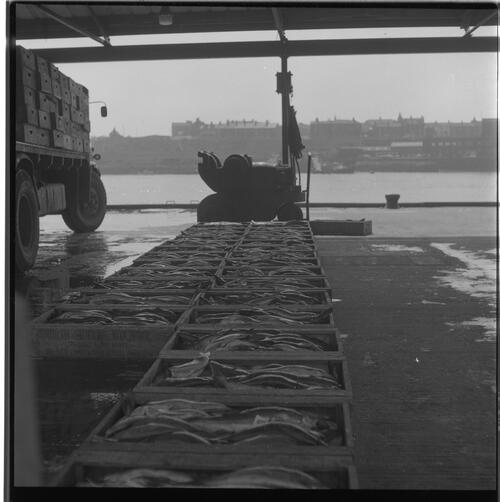 [Rows of fish in boxes, South Shields fishing docks]