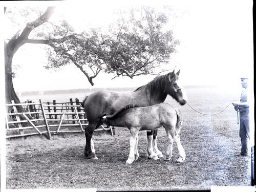 Montrave Woodbine and foal.