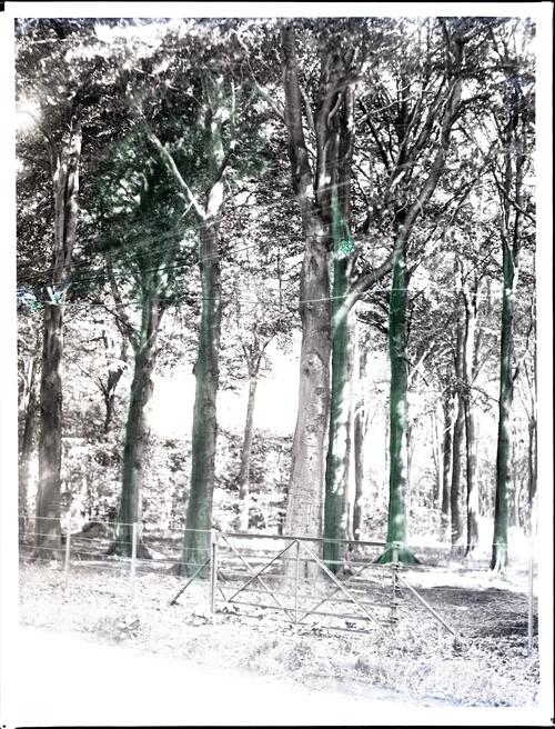 Beech trees, Silverburn.