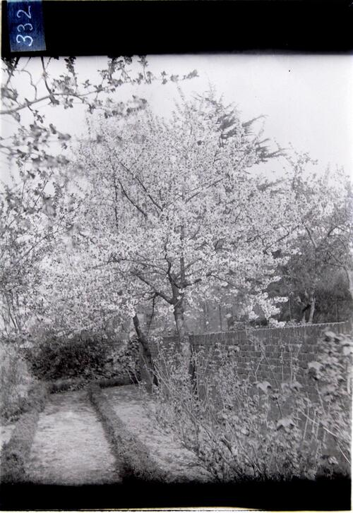 Cherry Blossom [Cleveland Cottage, Isleworth].