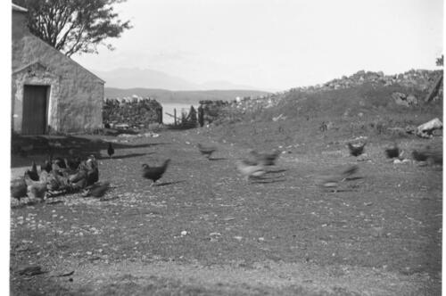 [Chickens feeding at] Ardtur.