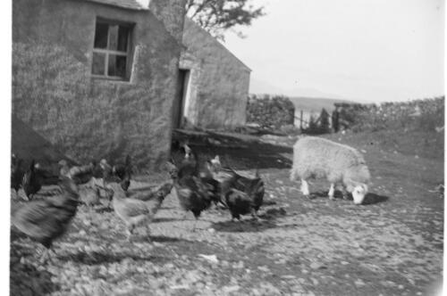 [Chickens and a sheep feeding at] Ardtur.