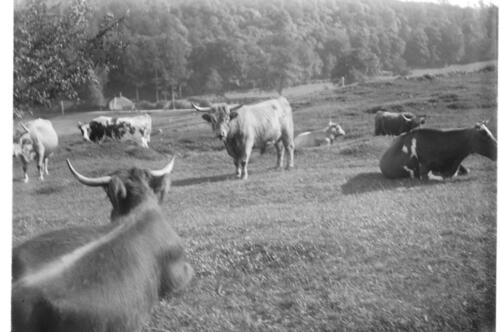 [Cattle in the field at] Ardtur.