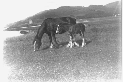 [Horse and foal] Ardtur.
