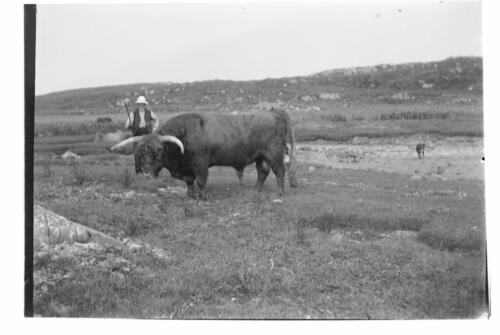 Mr Graham and his Bull [at Old Ulva, Loch Sween].