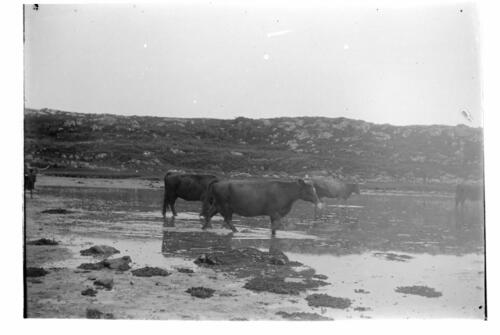 The Cows at Old Ulva [Loch Sween].