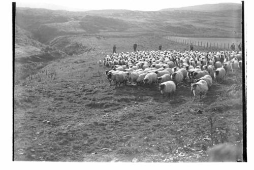 Collecting the Sheep, Craig Maddy, Loch Sween.