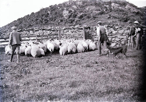 Bringing down the sheep for shearing, Creag a Mhadaidh, Loch Sween.
