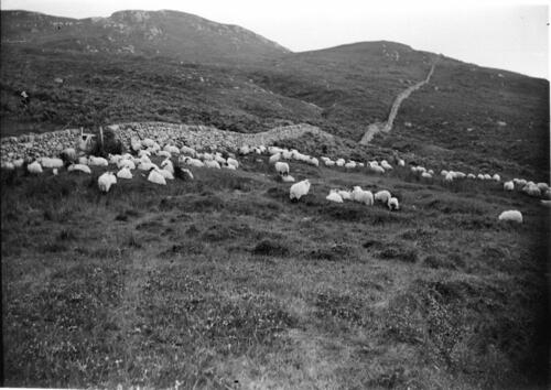 Sheep on the hillside [Creag a Mhadaidh, Loch Sween].