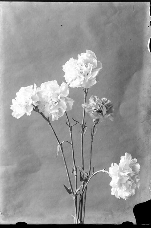 [Carnations, Cleveland Cottage, Isleworth].