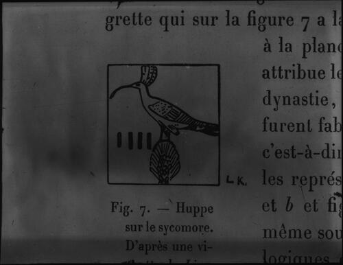 Fig. 7. - Hupper sur le sycomore.