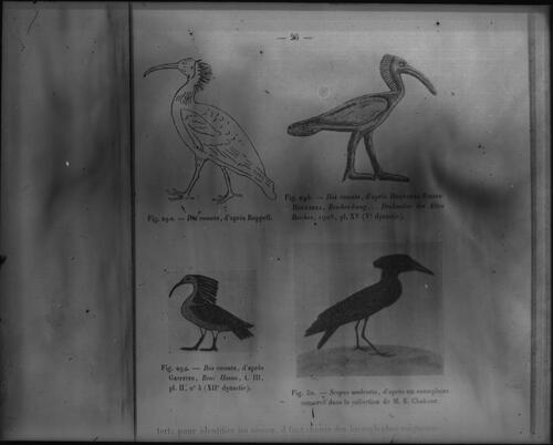 [Illustrations of Ibis comata and Seopus umbretta]