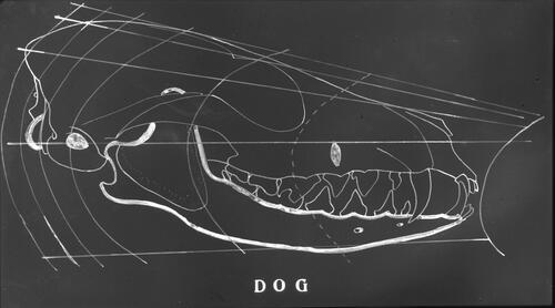 Fig. 408. Skull of dog, compared with the human skull of Fig. 404.