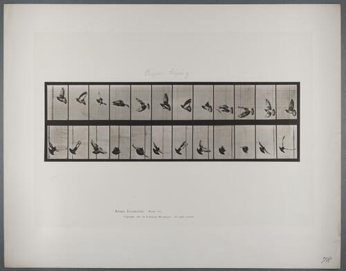 "Plate 756 ""Pigeon flying"""