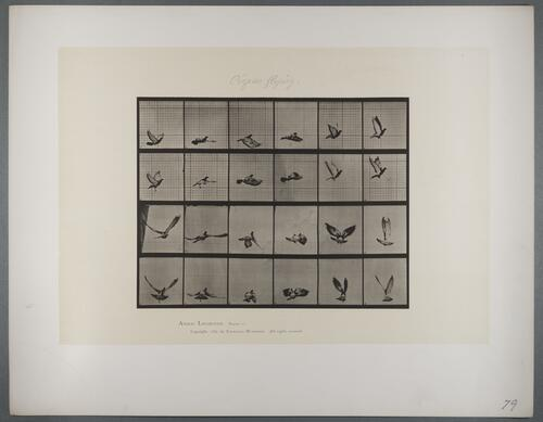 "Plate 757 ""Pigeon flying"""