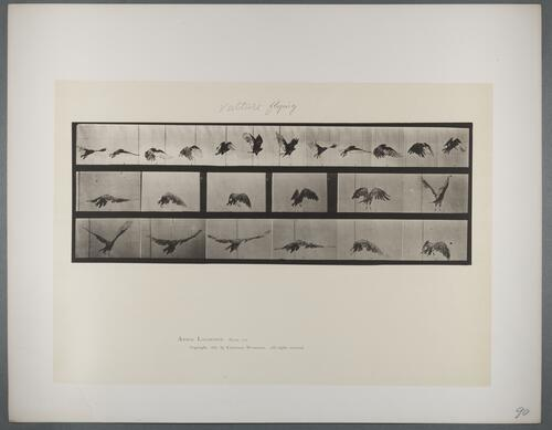 "Plate 768 ""Vulture flying"""