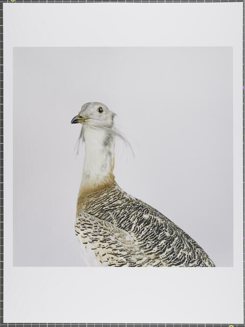 Great bustard; Otis tarda; Vulnerable; Glasgow Museum Collections