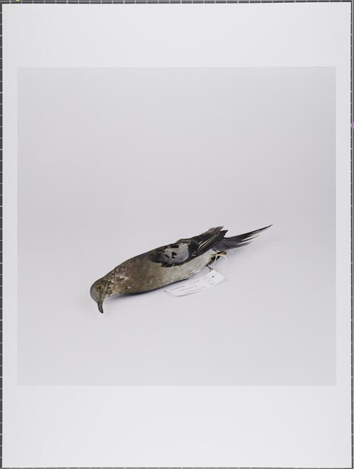 Passenger pigeon; Ectopistes migratorius; Extinct; Glasgow Museums Collection