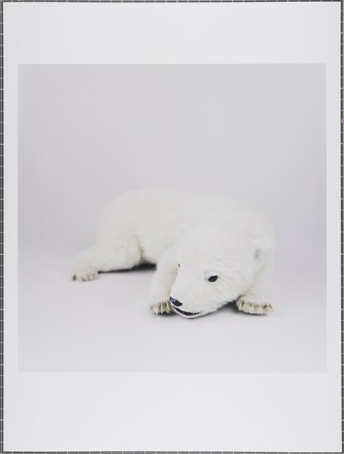 Polar bear; Ursus maritimus; Vulnerable; Glasgow Museums Collection