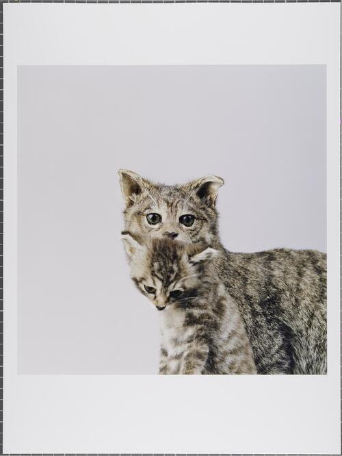 Scottish wildcat; Felis silvestris grampia; Critically endangered; Glasgow Museums Collection