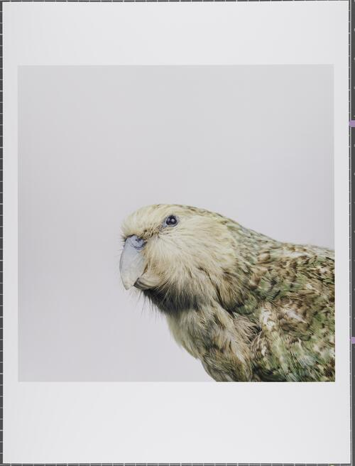 Kakapo; Strigops habroptilus; Critically endangered; Glasgow Museums Collection
