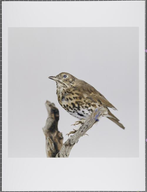Song thrush; Turdus philomelos; Least concern; Glasgow Museums Collection