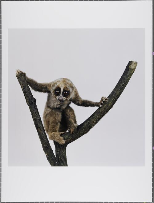 Sunda slow loris; Nycticebus coucang; Vulnerable; University of Glasgow Zoology Museum