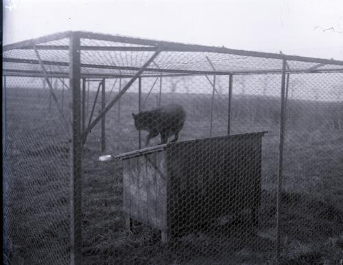 Animal [?Fox] in large cage.