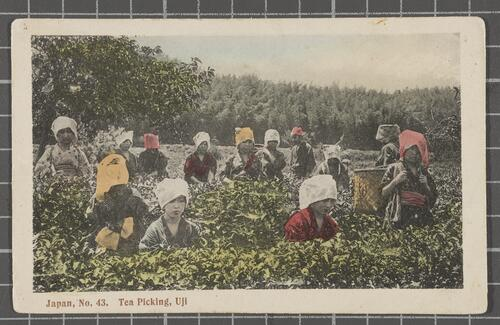 Tea Picking, Uji