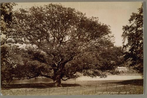 Last Oak of Birnam.
