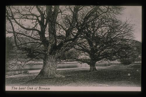The Last Oak of Birnam.