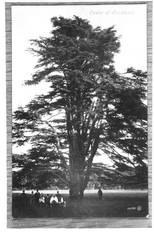Cedar at Goodwood.