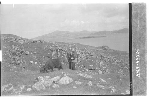 Scarp woman driving cow, Harris.