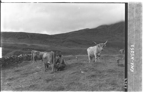 Girl milking cattle, Skye.