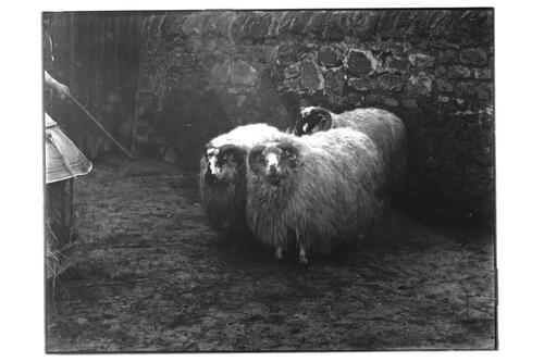 Smithfield Sheep