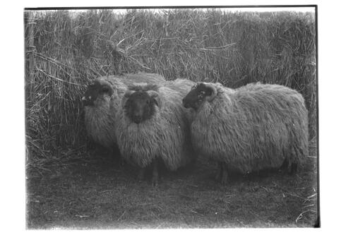 Blackfaced Sheep.