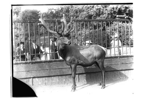 Wapity (Wapiti, an American Elk) at the Zoo.