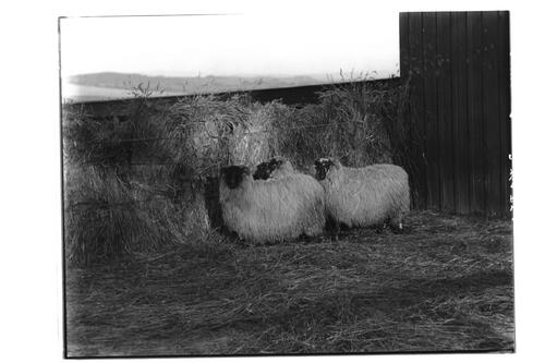 BFW (Blackface Wedder) Lambs, Very Highly Commended at Edinburgh, 1905.