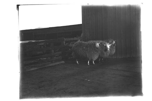 Cross Sheep, Very Highly Commended at Edinburgh Fat Show, 1906.