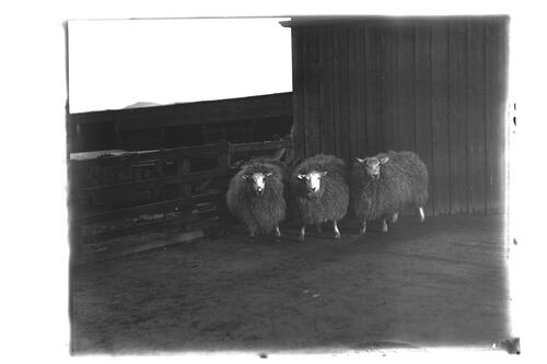 Cross Sheep, Commended at Edinburgh Fat Show, 1906.