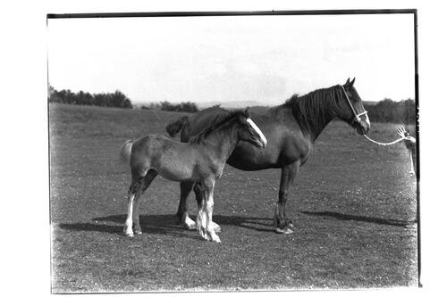 Montrave Rosamond and Foal