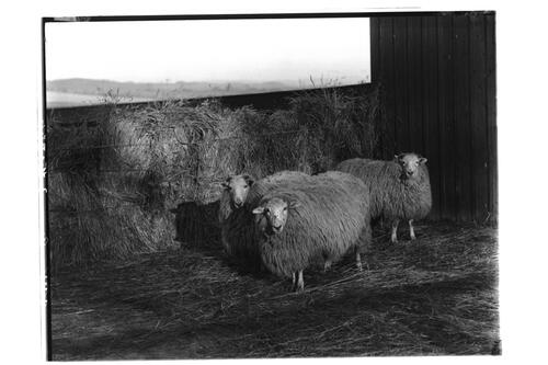 Cross Wethers [Sheep], H.C. (Highly Commended), Edinburgh.
