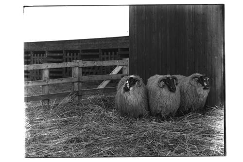 Black Faced Smithfield Wethers.