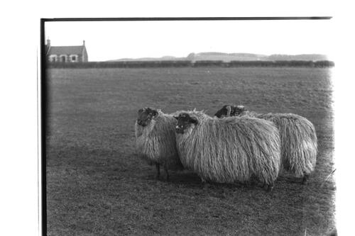 Prize sheep, Montrave.