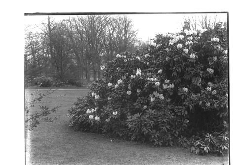 Rhododendrons, Montrave.
