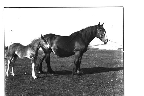 Mose Rose [and foal].
