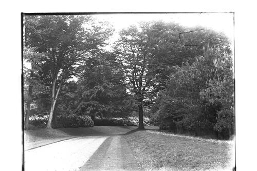 Rhododendrons [the Avenue, Montrave].
