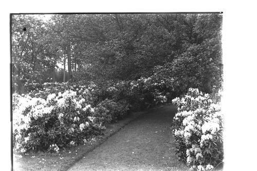 Rhododendrons [garden path, Montrave].